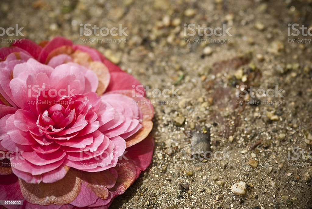 camellia fall royalty-free stock photo