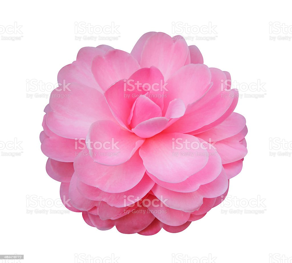 Camellia flower isolated on white background stock photo