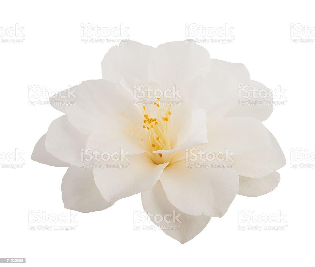 camellia flower stock photo