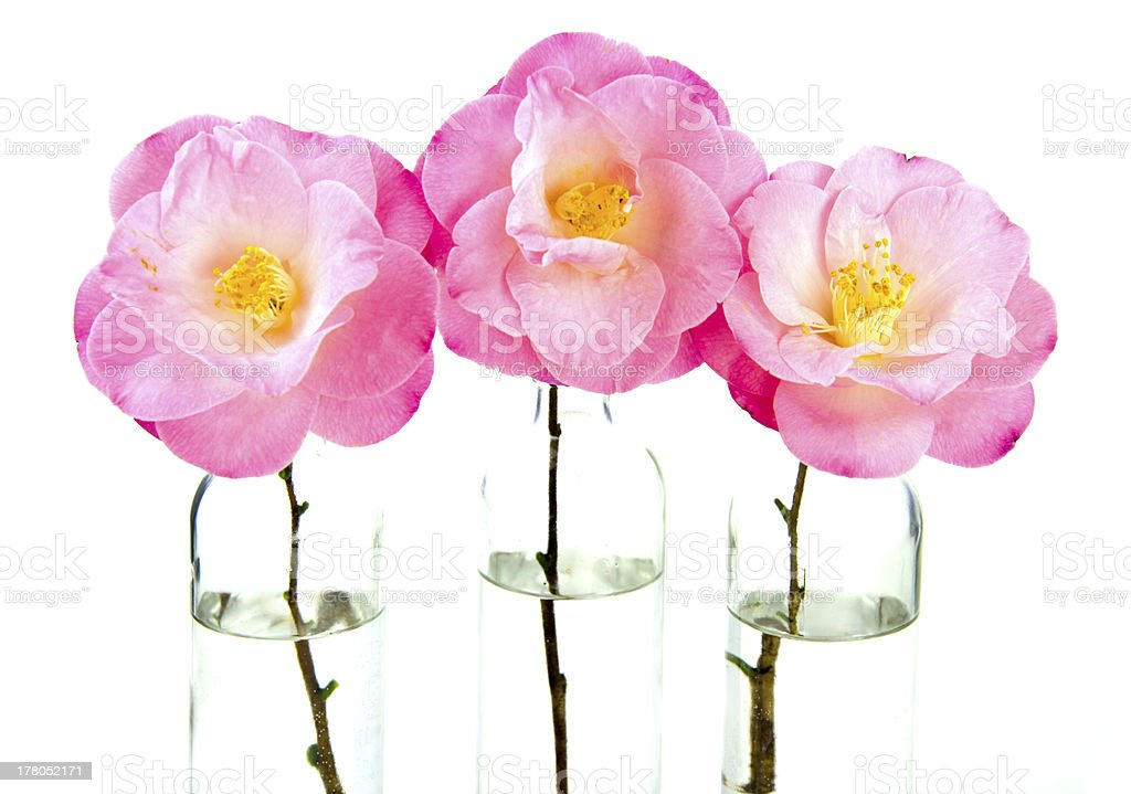 Camellia Flowers in Clear Vases stock photo