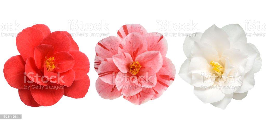 Camellia flowers isolated stock photo