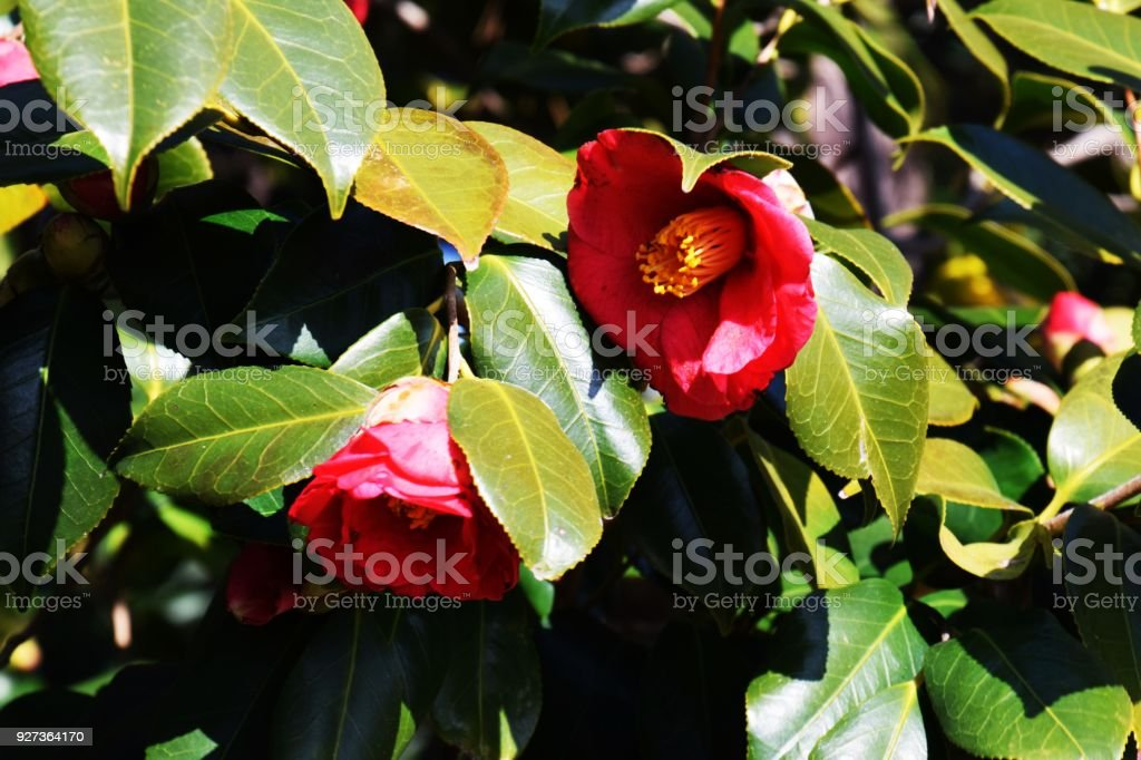 Camellia flowers - Royalty-free Beauty Stock Photo