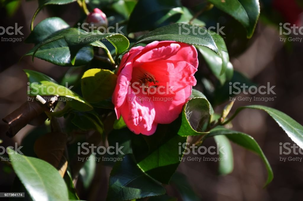 Camellia flowers Beautiful camellia flowers Beauty Stock Photo