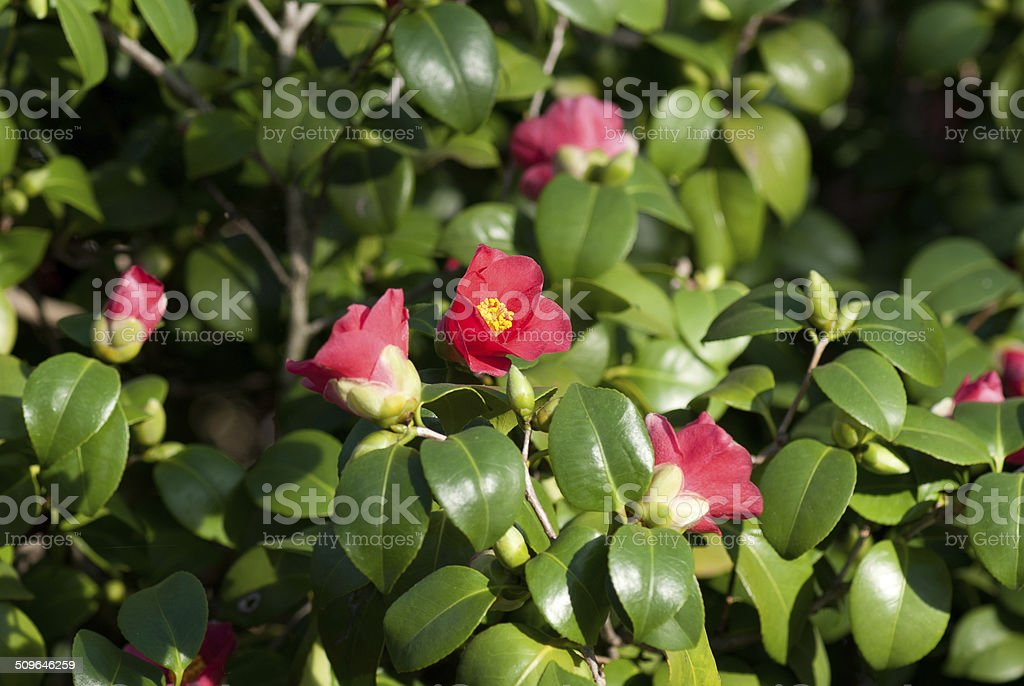 Camellia Japonica blooming in Dresden Pillnitz in March stock photo