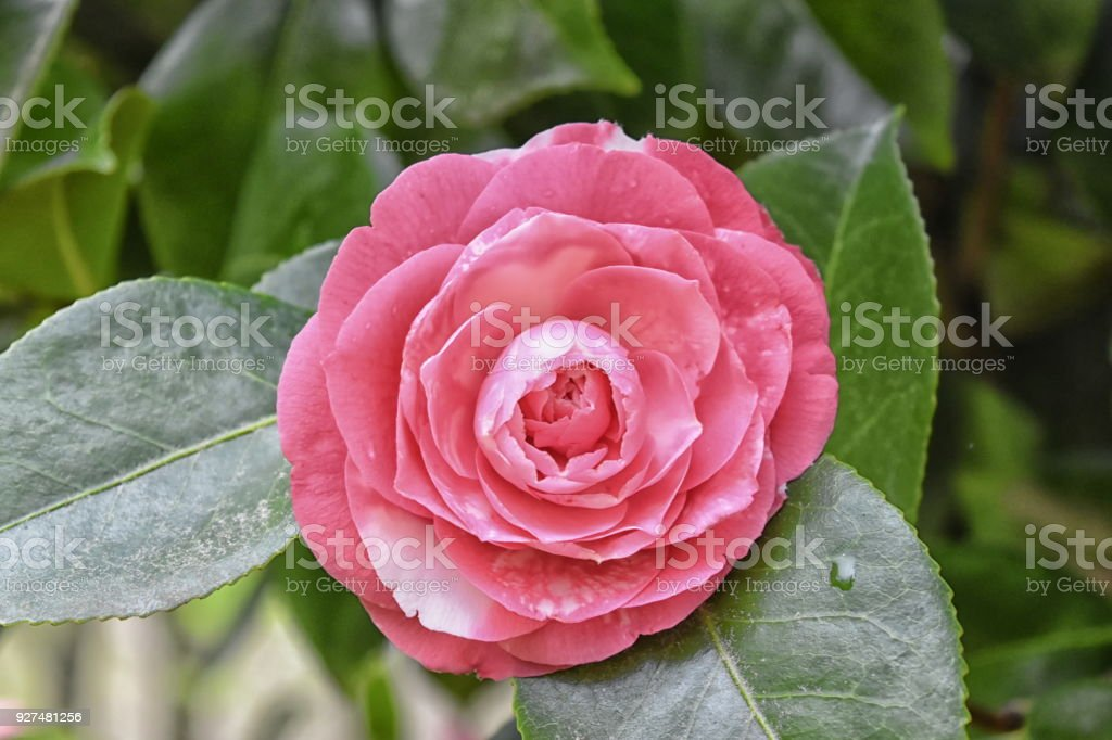 Camellia Japonica flower, deep pink, formal double. stock photo