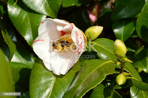 Camellia japonica HIKARLL GENJI flower with a Bumblebees collecting pollen