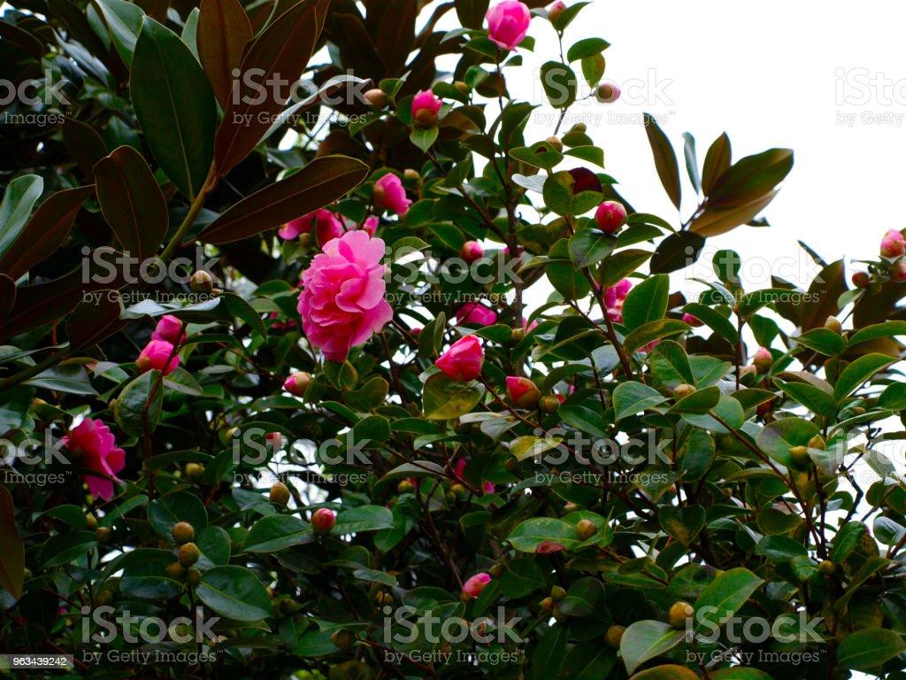Japonica camélia ou camélia ou fleurs de camélia japonais rouge sur vert buisson - Photo de Arbre libre de droits