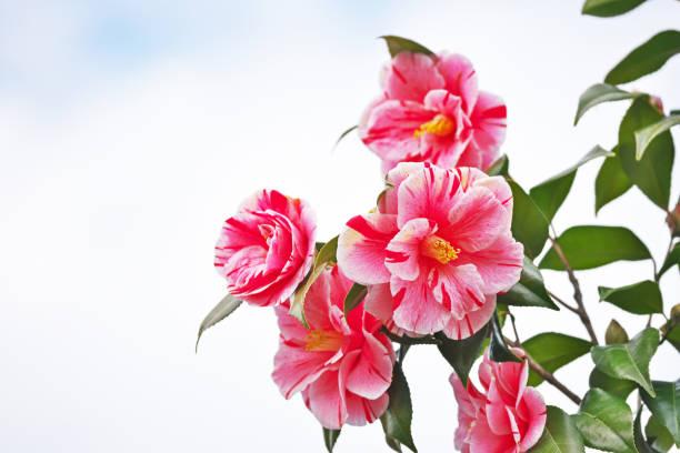 Camellia japonica  – Foto