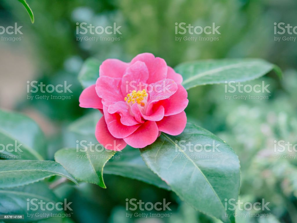 Camellia japonica, red flower. stock photo