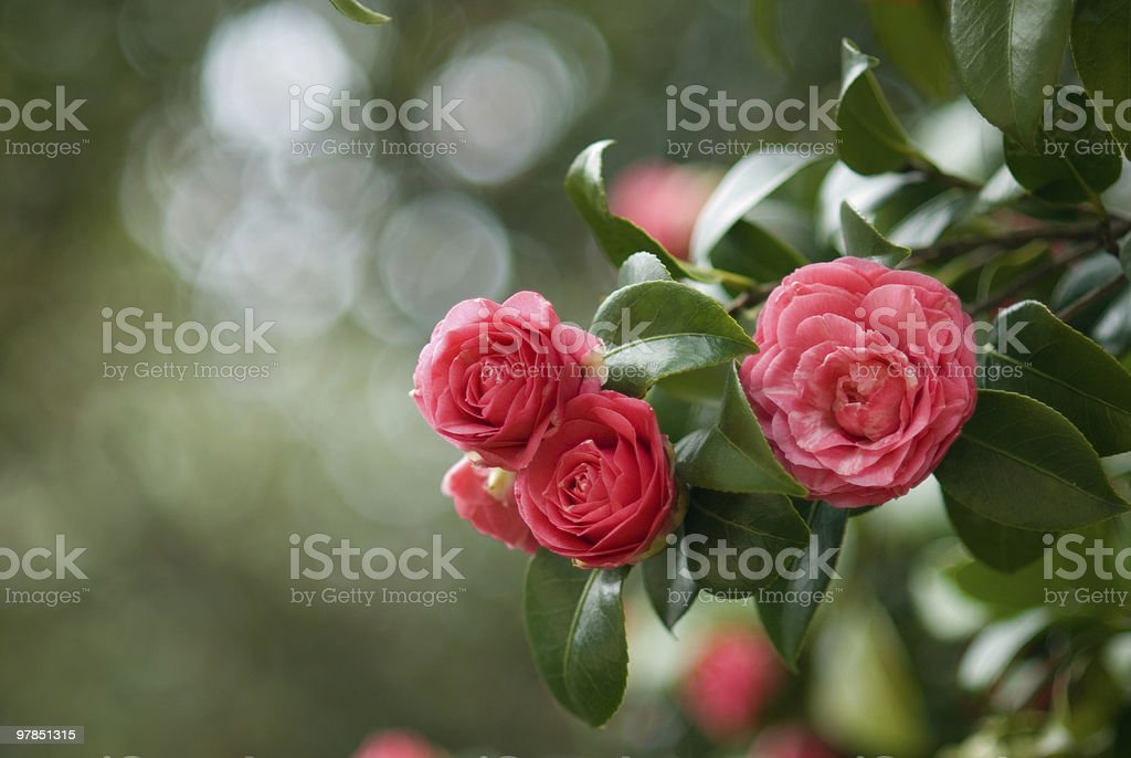 camellia leaf stock photo