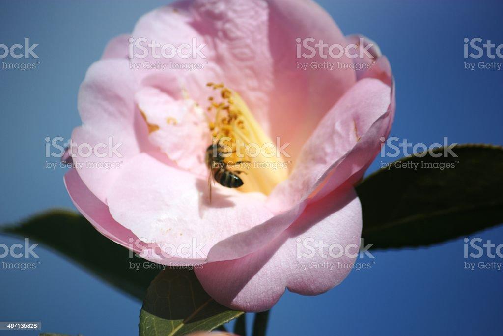 Camellia, light pink, Bee, spring, under blue sky stock photo