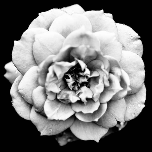 Camellia picture id171330130?b=1&k=6&m=171330130&s=612x612&w=0&h=qduuqnc t9q8vqbsw6zyhj6myutppue612hihyfv5e0=