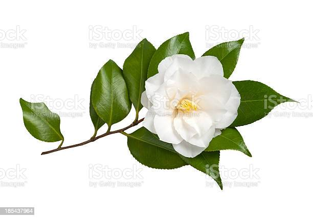 Camellia picture id185437964?b=1&k=6&m=185437964&s=612x612&h=oinc0vq7hfzgwrzibfep moa9sc9rq7oipijajaugqs=
