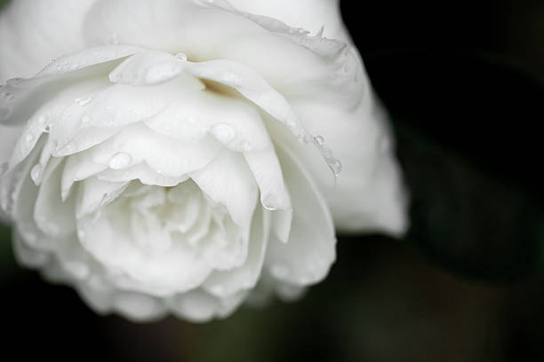 Camellia White Camellia after the rain gracia baur stock pictures, royalty-free photos & images