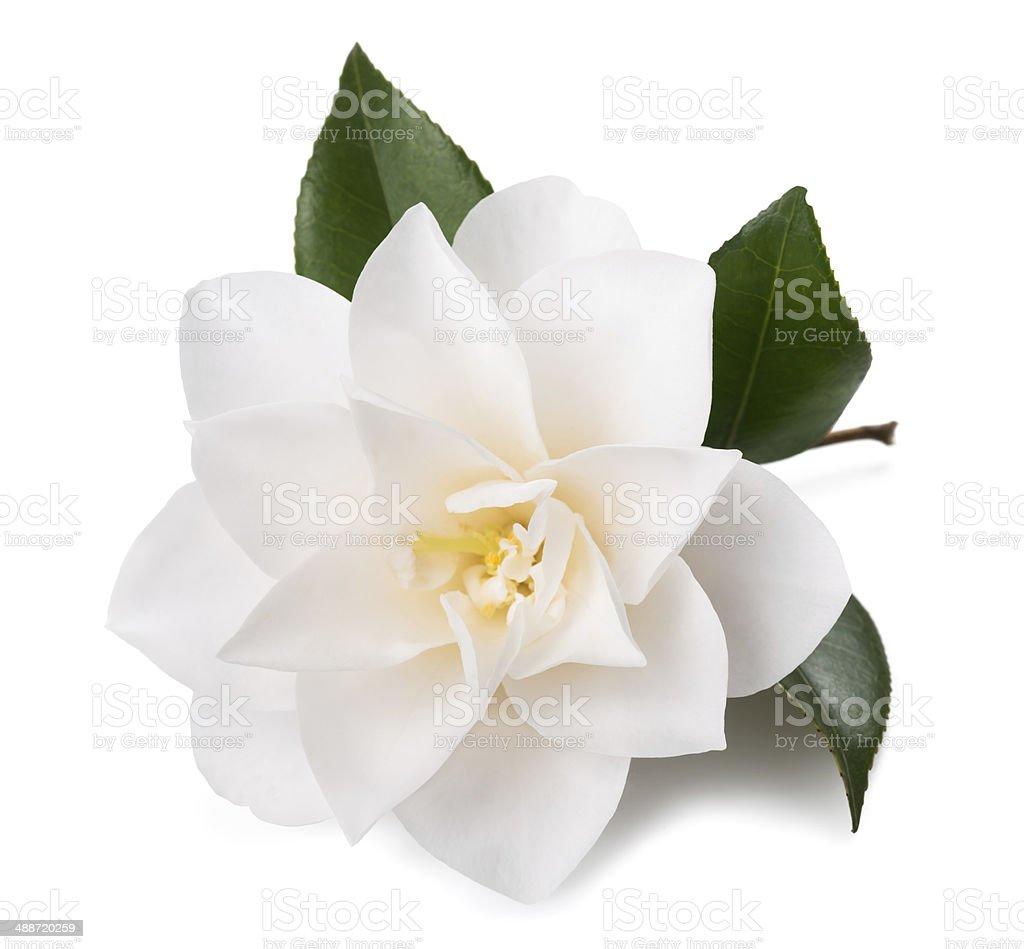 camellia stock photo
