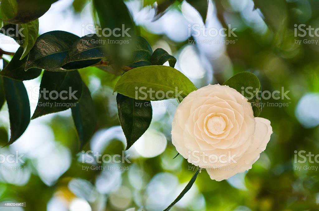 Camellia White camellias in the tree 2015 Stock Photo