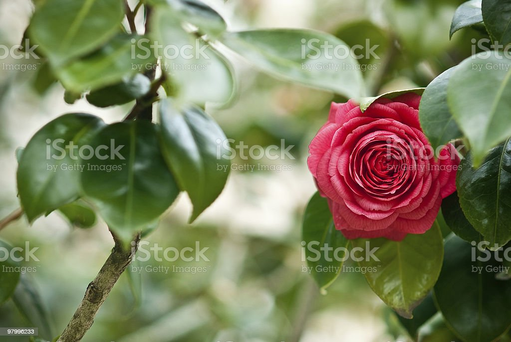 camellia royalty-free stock photo