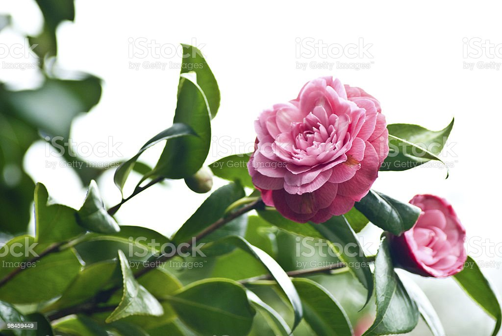 Camelia foto stock royalty-free
