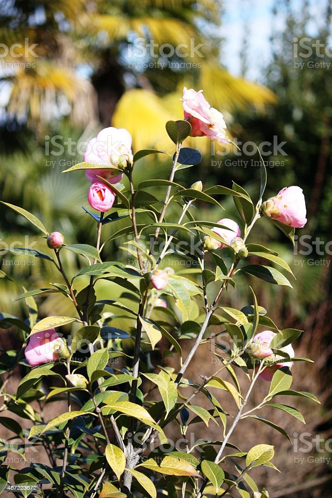 Camellia pink in Italy, close up stock photo