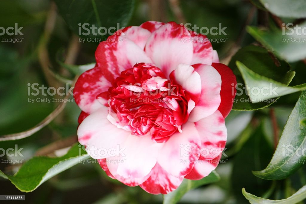 Camellia red white spotted, filled, in spring stock photo