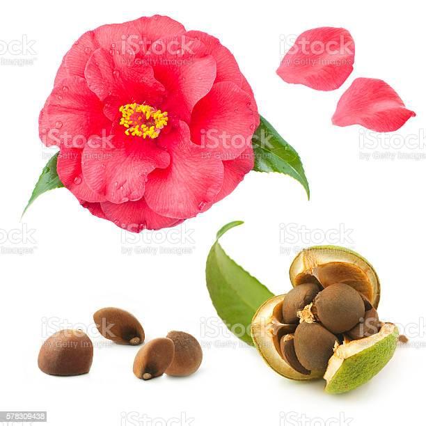 Camellia seeds and flower on a white background picture id578309438?b=1&k=6&m=578309438&s=612x612&h=essdextdpaecu sdf7yfjyjtdzgfbmtpz24unpztj 8=