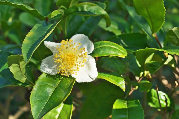 Camellia sinensis – Foto