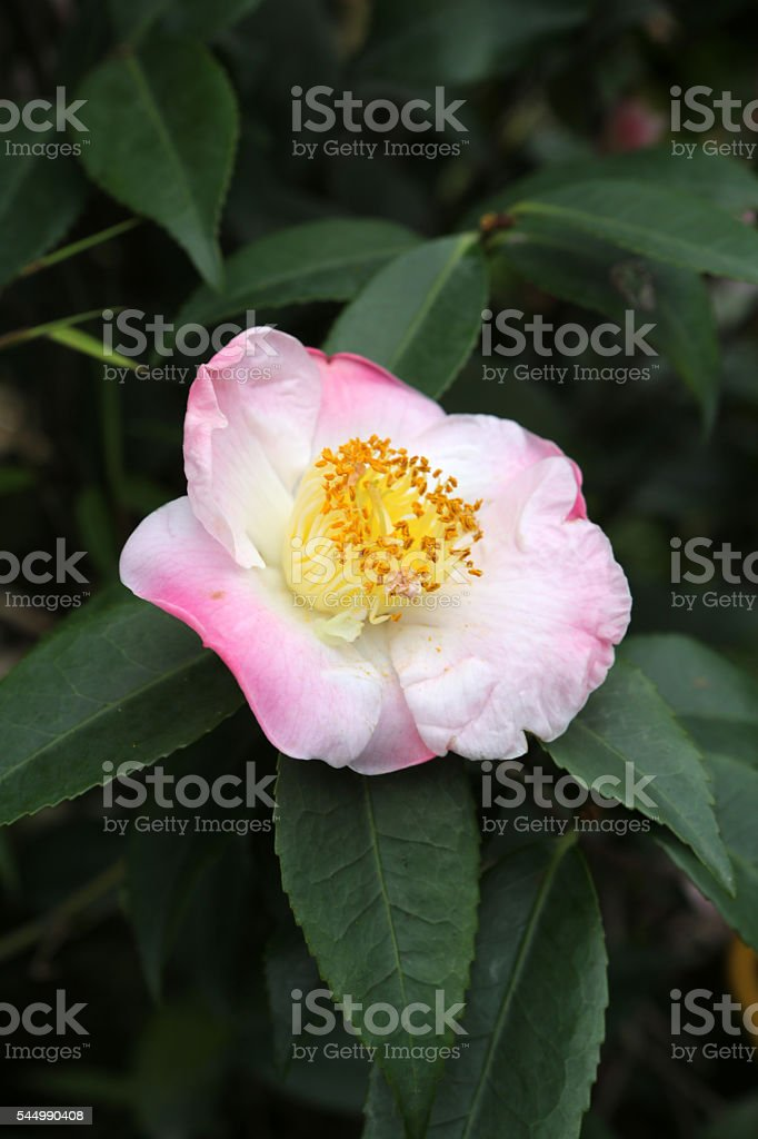 Camellia Sp stock photo