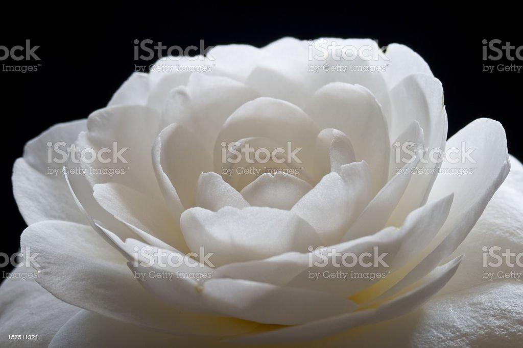 Camellia - The White Flower stock photo