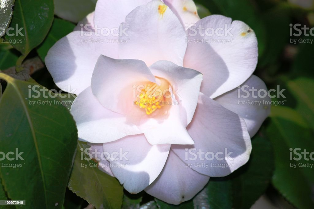 Camellia white stock photo