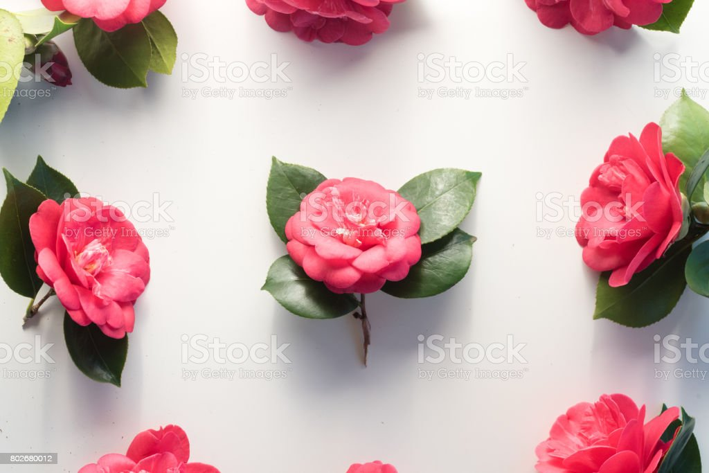 Camellias from above stock photo