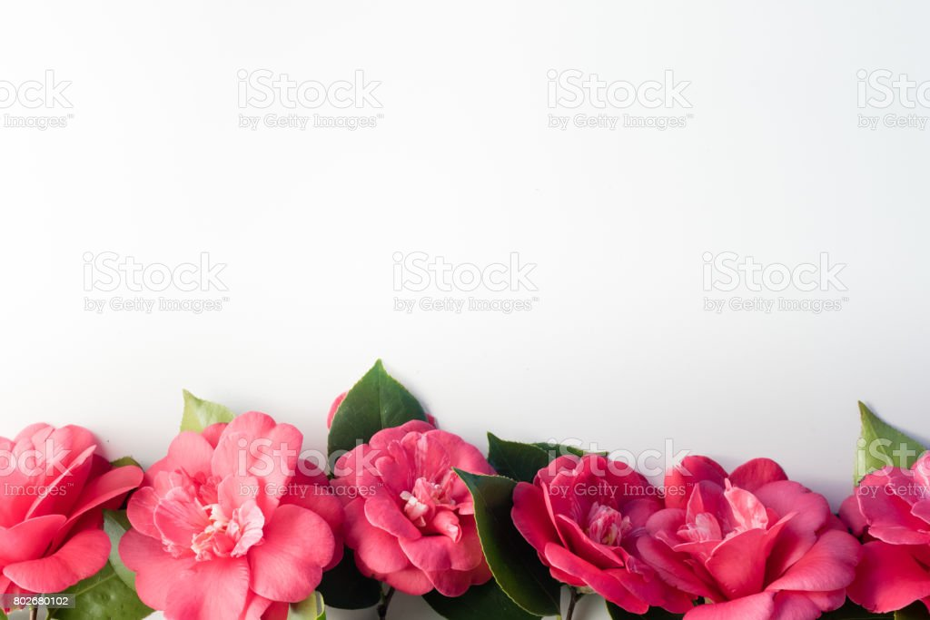 Camellias in a row on white background stock photo