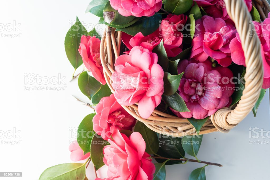 Camellias in basket from above stock photo