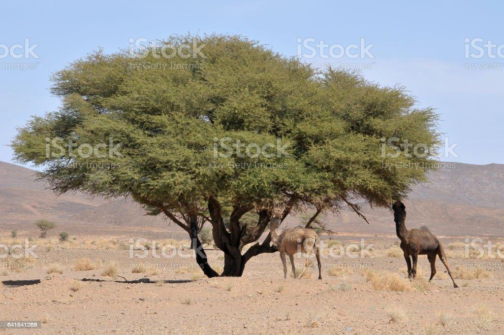 Camellos y el árbol de acacia en el sur de Marruecos - foto de stock