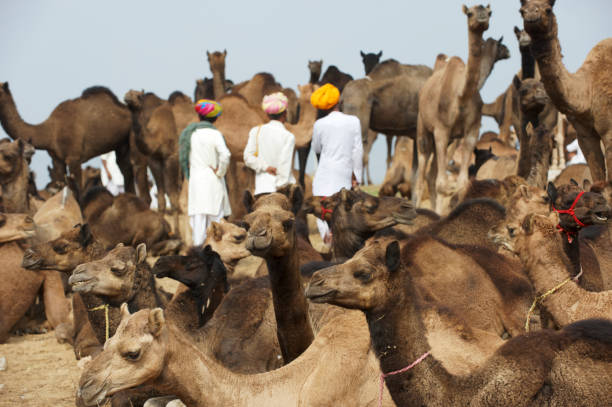Camels and local tribesmen stock photo