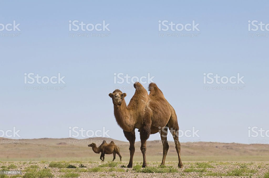 Camels at Gobi Desert stock photo