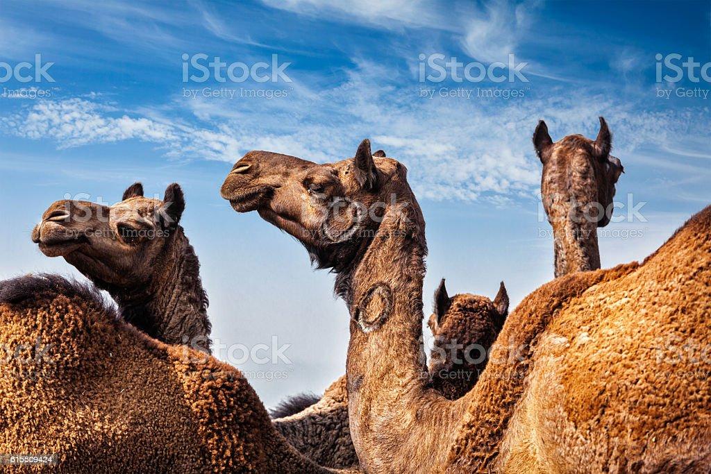 Camels at Pushkar Mela (Pushkar Camel Fair), India stock photo