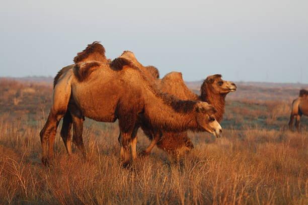 Kamele bei Sonnenuntergang – Foto