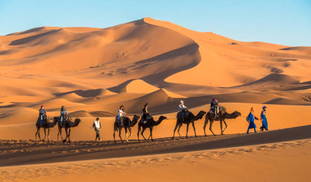 Camels at the Erg Chebbi dunes in the Sahara stock photo