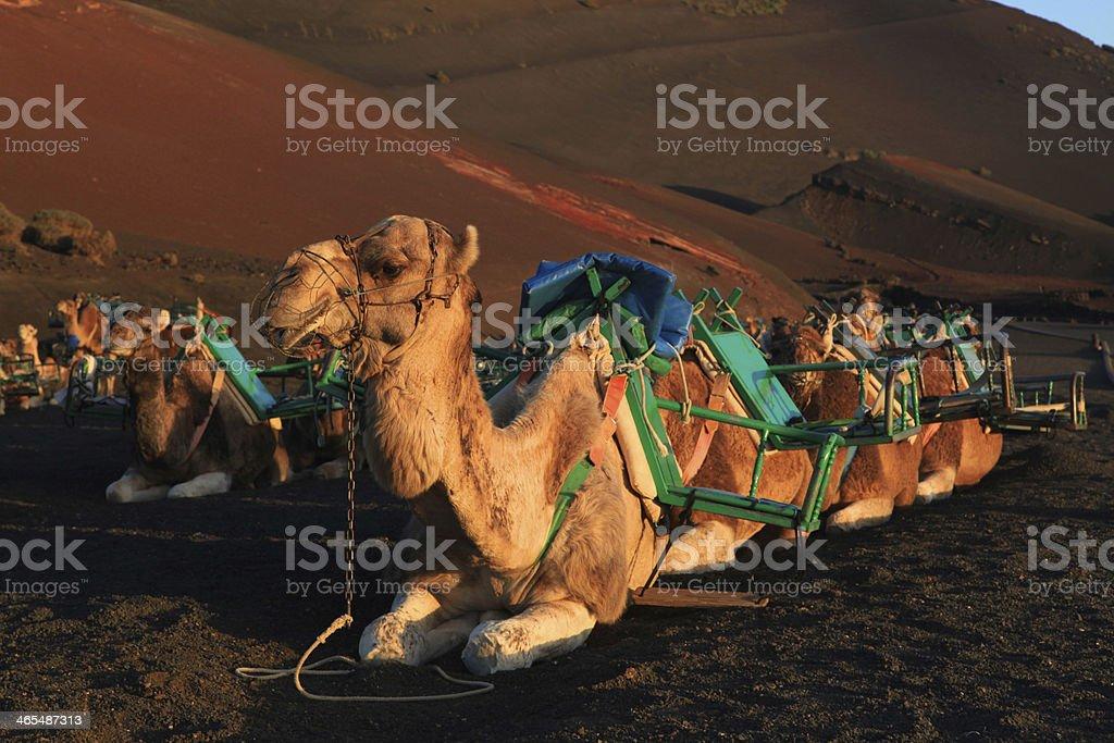 Kamele im Timanfaya-Nationalpark – Foto