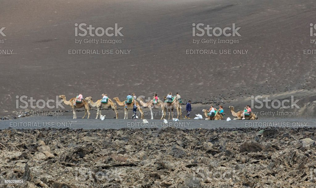 Camels at Timanfaya National Park stock photo
