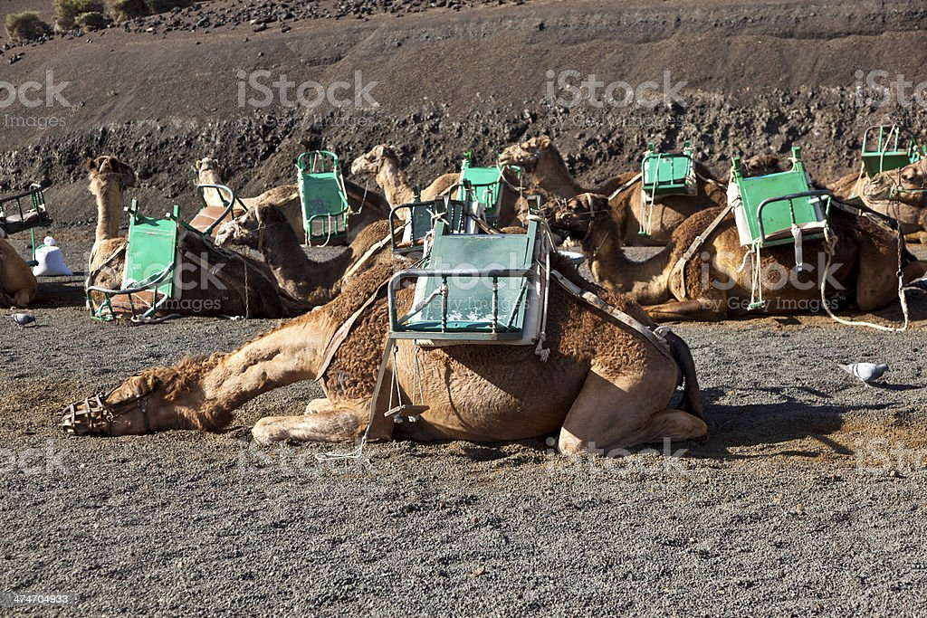 camels at Timanfaya national park wait for tourists stock photo