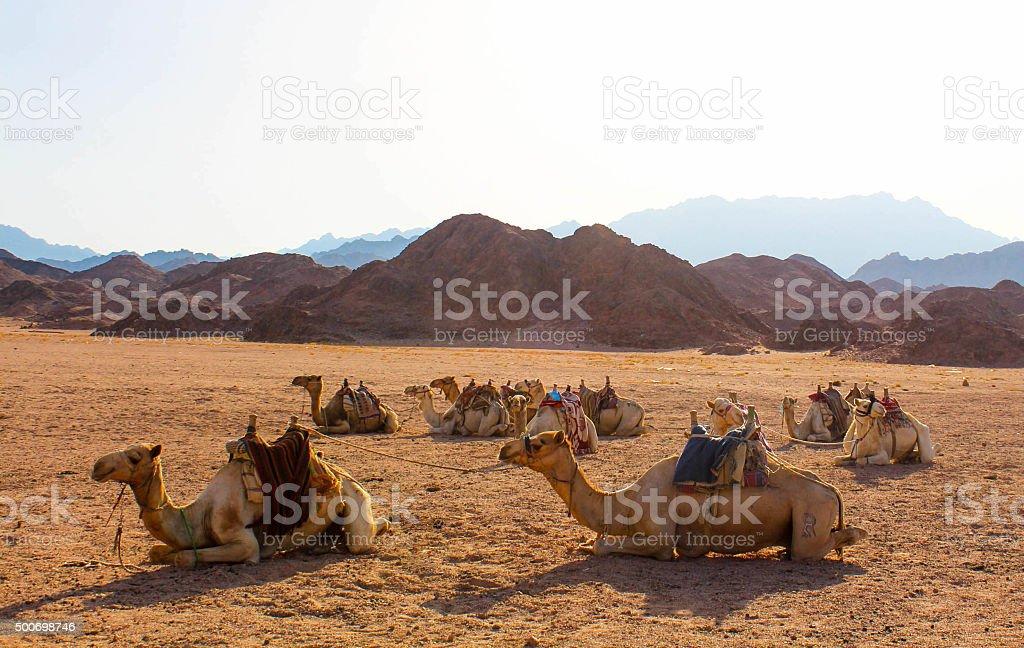 Camels basking in sunlight in the Sinai desert stock photo