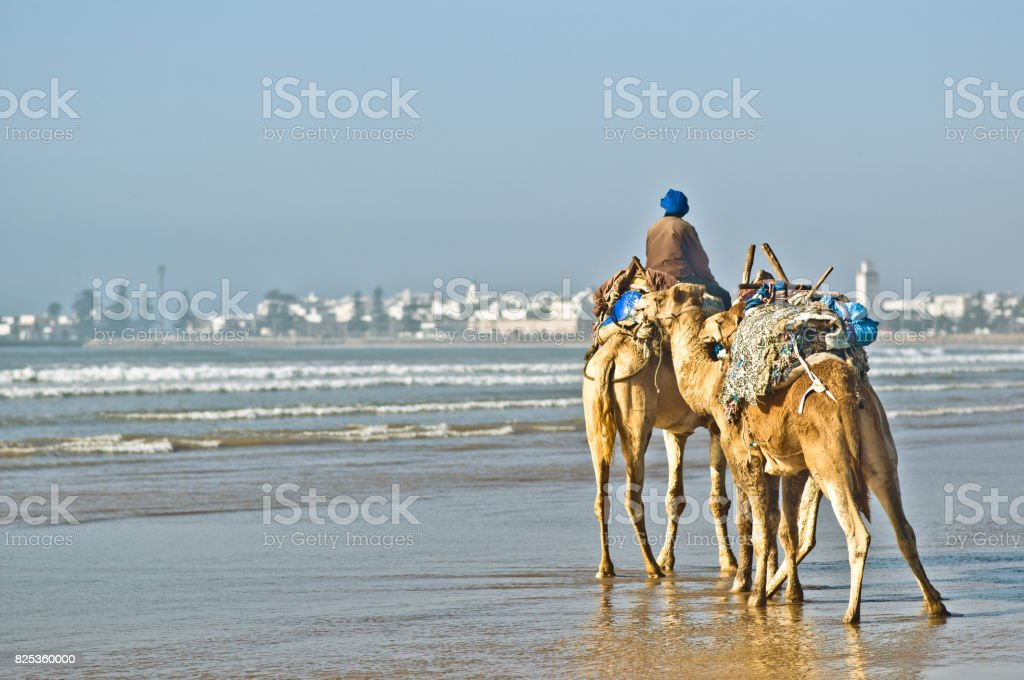 Camels by the beach of Essauira in Morocco stock photo