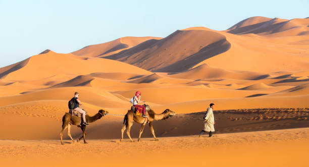Camels by the Erg Chebbi dunes in the Sahara stock photo