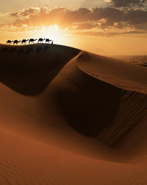 Camels caravan on a dune Arab man leading a camels caravan at sunset on a giant sand dune in the Empty Quarter desert of Abu Dhabi working animal stock pictures, royalty-free photos & images