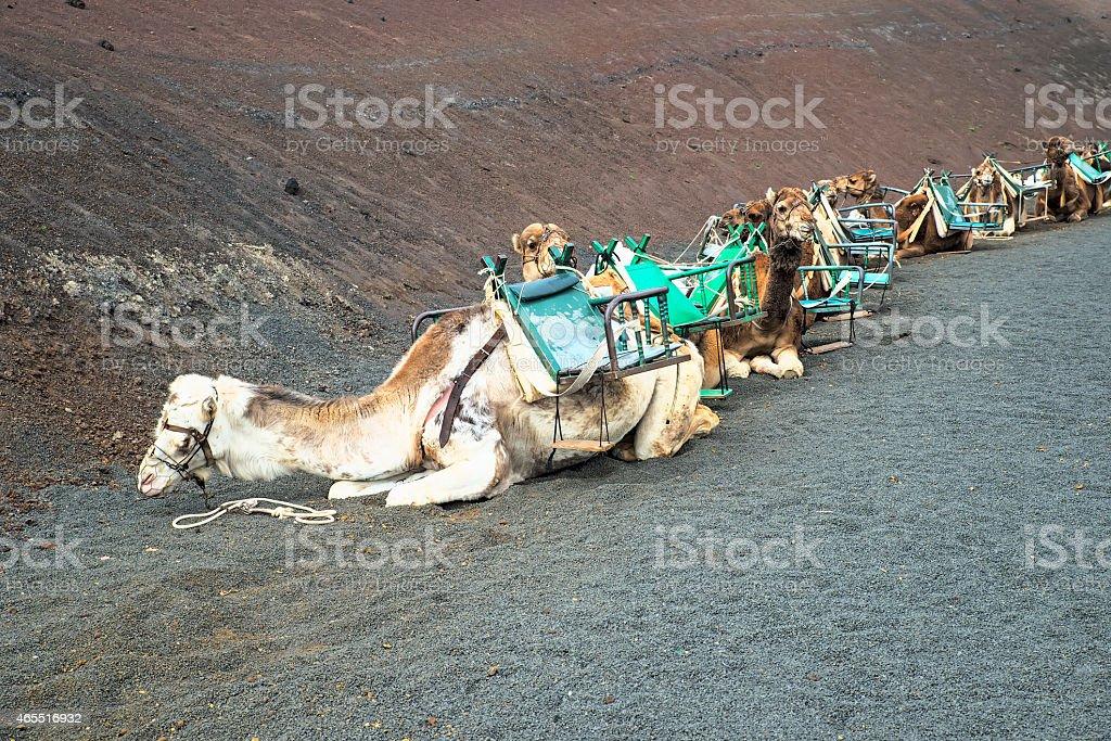 Camels caravan standing stock photo