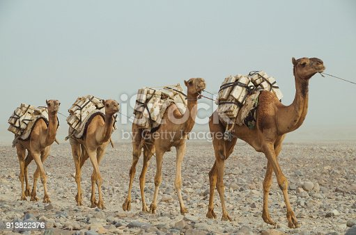 istock Camels caravan with blocks of salt of the Danakil Depression. Ethiopian salt trade maintains ancient traditions of centuries. Ethiopia, Afar Depression (Afar Triangle) 913822376
