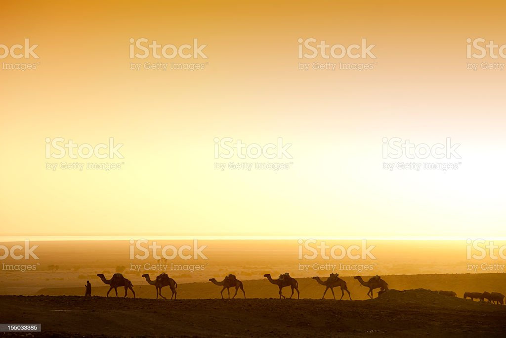Camels chasing the sunrise in an Ethiopian Desert  stock photo