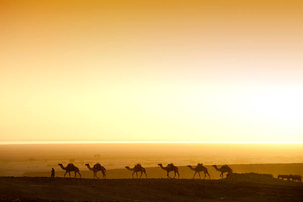 camels chasing the sunrise in an ethiopian desert  - eritrea stock photos and pictures