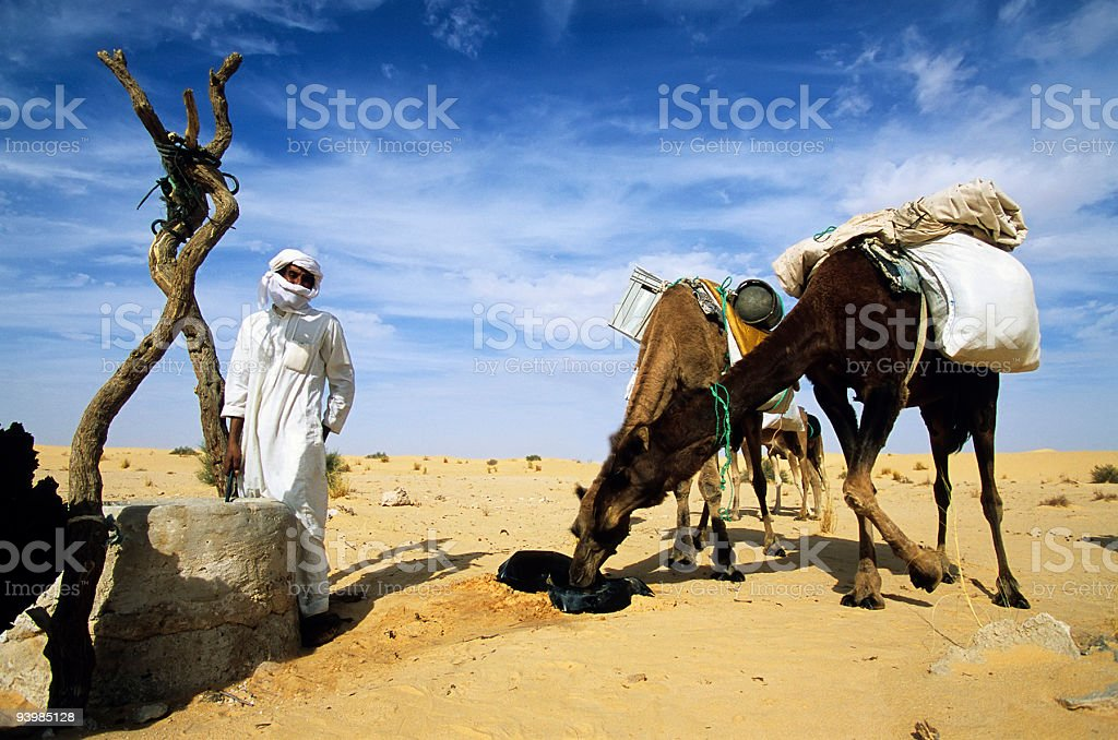 Camels drinking royalty-free stock photo